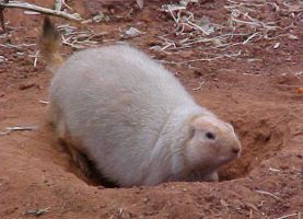 Black Tailed Prarie Dog by imerald