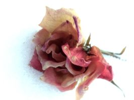 Dead winter rose by vieveh
