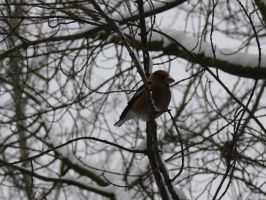 Hawfinch in the cold by WolfDemonG