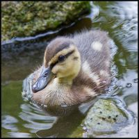 Small Duck by cluster5020