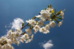 Cherry Flowers VII by John77