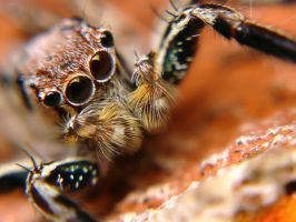 Jumping Spider III by momentoes