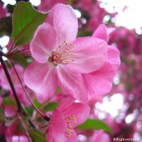 Apple_Tree_Flower by hyneige
