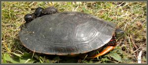 Painted turtle by teddybearcholla
