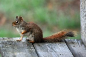 Little Red squirrel II by GeraldII