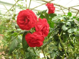 Red Roses by saphi-saphi