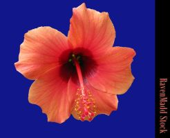 Tropical Hibiscus CutOut Stock by RavenMaddArtwork