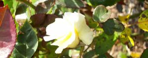 Baby White Rose. by KristineAdelia