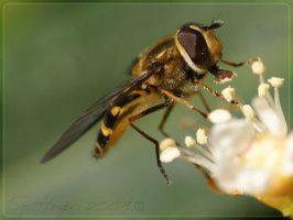 I am a fly - for sure VI by Insect-Lovers-Club