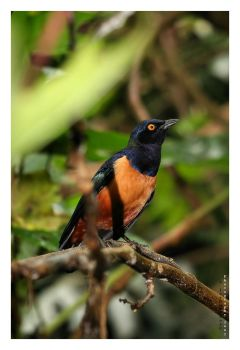 Hildebrandt's Starling by JRose-Photography