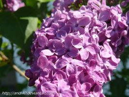 lilac by andi40