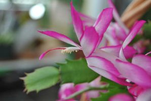 X-Mas cactus flower 2 by KEArnold