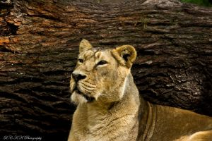 Lion_portrait by PiTurianer