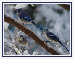 Three Jays by barcon53