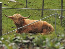 Scottish cow, love it! by Agatje