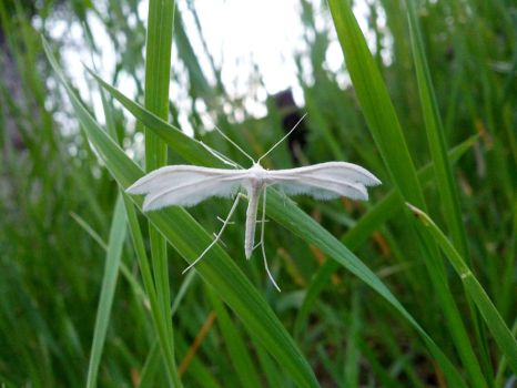 White Plume Moth by 97Cas