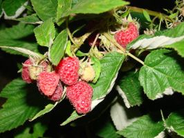 Raspberry Plant 2 by Mouse-Stock