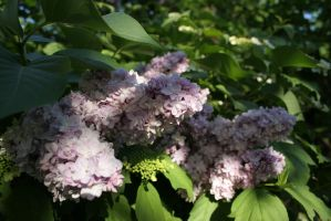 Lilac blossoming stock #16 by croicroga
