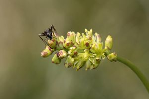Ant on Tofieldia by organicvision