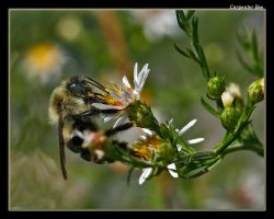 Carpenter Bee 08 by boron