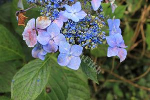 blue flowers by HannahFifth