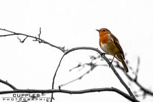 Robin by cupplesey