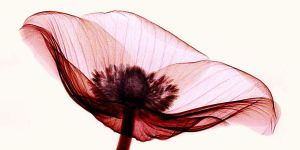 Anemone X-ray 1 by coopr