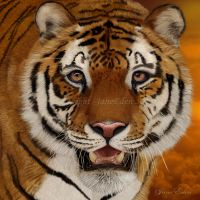 Tiger Portrait by JaneEden