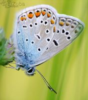 .:Common Blue:. by efeline