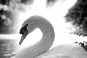 swan by alahay