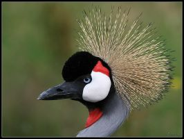 Grey Crowned Crane Portrait by cycoze