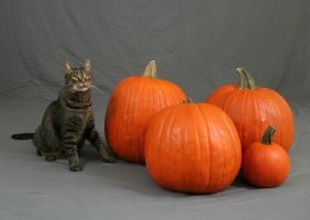 Pumpkin Cat 3 by MajesticStock
