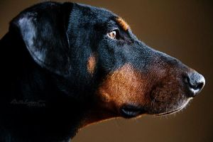 Dexter the Doberman by BelleEsprit