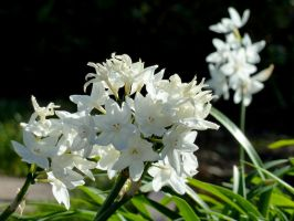 White Narcissus by AtomicBrownie