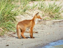 Stock 527: fox cub 2 by AlzirrSwanheartStock