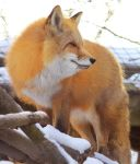 Red Fox Stock 7 by HOTNStock