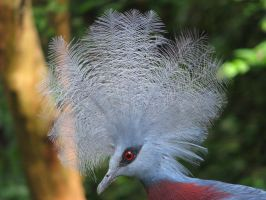 Southern Crowned Pigeon 02 by Ghost-Stock