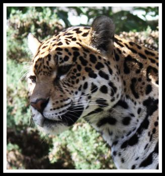 Amur Leopard 6 by Littlegothickitty