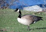 Canada Goose by calzephyr