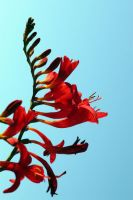 Fire Weed by andras120