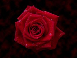 Rose by Xerces