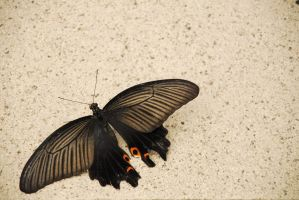 Photo: Black Butterfly by gomimushi