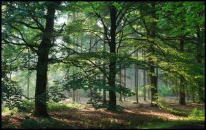 Beech trees in morning light by jchanders