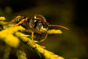 Nomada Bee 9 by Alliec
