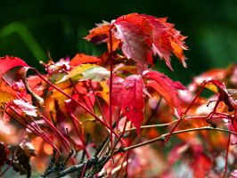 Red Leaves by ConquerorWyrm