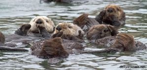 Raft of otters by jaffa-tamarin