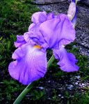 Rainy Day Iris 1 by PridesCrossing