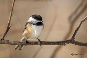 .:Chickadee:. by RHCheng