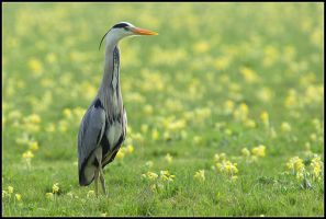 Grey Heron in Cowslip Meadow by nitsch