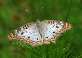 White Peacock Butterfly 2 by tioedbob